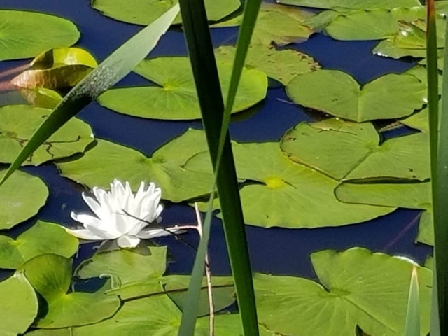 Pond Lilly